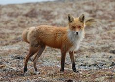 The red fox is adaptable, living in forests, mountains, prairies and even housing developments! Their highly varied diet ensures they can always find something to eat.  Photo: Red fox by Kristine Sowl/USFWS.