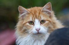orange american longhair cat