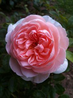 'The Sepherdess' |  Shrub.  English Rose Collection. David C. H. Austin, 2007 | Flickr - © hellimli