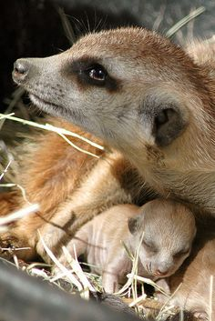 Meerkat with baby.looks kind of bitey. Vida Animal, Animal 2, Mundo Animal, Cute Baby Animals, Animals And Pets, Funny Animals, Beautiful Creatures, Animals Beautiful, Animal Photography