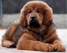 BIG KISSES - I have always loved big fluffy dogs - but not where I live! Too bad! Big Fluffy Dogs, Big Dogs, I Love Dogs, Cute Dogs, Adorable Puppies, Giant Dog Breeds, Giant Dogs, Large Dog Breeds, English Mastiff Puppies