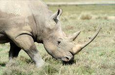 L'extinction des rhinocéros blancs du Nord