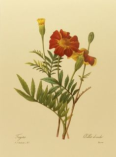 Vintage French Marigold Redoute Flower Print by earlybirdsale, $5.00