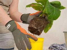 Le début de printemps est un excellent moment pour rempoter nos plantes d'intérieur. Mais pourquoi le faire? D'abord, les plantes qui poussent en pleine terre n'ont pas de restrictions: elles peuve...