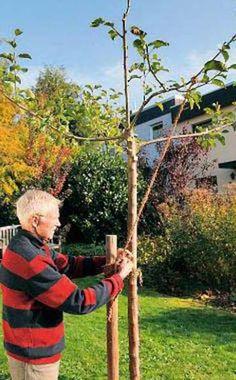 Aufbau einer Pyramidenkrone -  Obstbäume brauchen wie wir Menschen eine gute Erziehung. Bei jungen Apfel-Hochstämmen formen Sie mit der Gartenschere eine sogenannte Pyramidenkrone.
