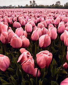 Iphone Background Wallpaper, Retro Wallpaper, Aesthetic Iphone Wallpaper, Aesthetic Wallpapers, Flower Aesthetic, Pink Aesthetic, Sunflower Photography, Tulips Garden, Flower Backgrounds