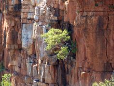 Eucalyptus brachyandra (tropical red box) on the cliffs of Mount Danglish in the Kimberley of Western Australia.
