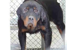 XXX URGENT!! $2,125 in pledges-CA, Gardena Abused Senior Rottie W/ Major Eye & Ear Issues    This sweetie came in with it's companion and the pledges to take one or both of these babies is overwhelming and climbing. If you can make room for one or two more, I beg you to help these sweeties who will be killed at the shelter next week!