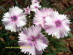 purple dianthus flower picture