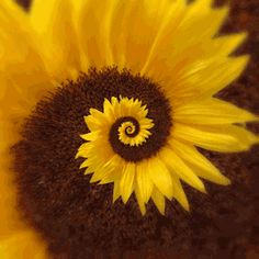 gif trippy psychedelic flower sun infinite vortex endless petals sunflower Spiral loop hypnotic pollination
