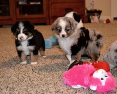 The cutest toy Aussie pups I have ever seen! I want one!