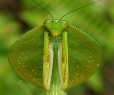 Mantis cobra – Choeradodis rhombicollis