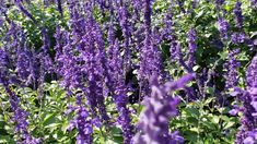 These Salvia are the bee's knees! These Salvia are the bee's knees! Shade Garden, Garden Plants, Backyard Shade, Purple Garden, Fruit Garden, House Plants, Plant Background, Plant Wallpaper, Plant Aesthetic