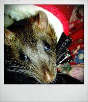 Em-dash having a look Rats, Animals, Animales, Animaux, Animal, Animais