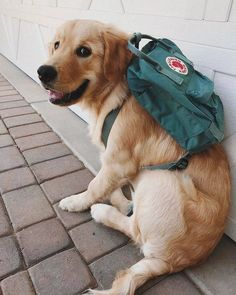 Astonishing Everything You Ever Wanted to Know about Golden Retrievers Ideas. Glorious Everything You Ever Wanted to Know about Golden Retrievers Ideas. Cute Dogs And Puppies, Baby Dogs, I Love Dogs, Doggies, Adorable Puppies, Cute Little Animals, Cute Funny Animals, Cute Creatures, Animals And Pets