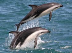 Dusky Dolphin | About Dolphin Encounter :: Kaikoura dolphin swimming and watching