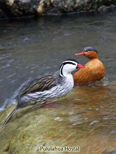 Torrent Duck	(Merganetta armata)
