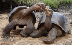 Giant Tortoise HD wallpaper