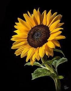 Flower Photograph - Sunflower Number 2 by Endre Balogh Sunflower Pictures, Sunflower Art, Sunflower Tattoos, Sunflower Fields, Sunflowers And Daisies, Big Flowers, Flowers Nature, Beautiful Flowers, Yellow Flowers