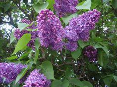 Pihasyreeni / Lilac