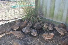 plants for the quail pen | ... experimental project in the quail pen quail are ground birds who like