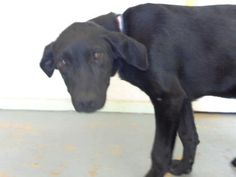 05/24/16-BROWNWOOD, TX - Animal ID 29957655 Species Dog Breed Retriever, Labrador/Mix Age 1 year 6 days Sex Male Size Medium Color Black/White Spayed/Neutered Declawed No Housetrained Unknown