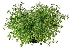 Thyme The common name for Thymus,a genus of aromatic herbs or shrubby plants of the Mint Family, long cultivated and valued as both ornamentals and sweet herbs. Natural Remedies For Gout, Natural Treatments, Herbal Remedies, Home Remedies, Thyme Benefits, Health Benefits, Health Tips, Health Care, Container Gardening