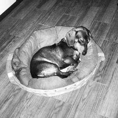 Teo #teckel #dachshund