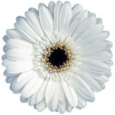 FiftyFlowers.com - White Gerber Daisy Flower buy a bundle & save a lot of money creating your own centerpieces/bouqets!