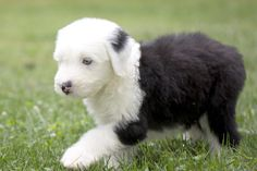 Old English Sheep Dog with puppy blue eyes by Eugene Lagana on 500px