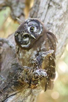 Boreal Owl by Rhett Wilkins
