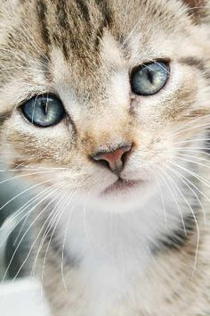 e719d67091 Beautiful blue eyed kitten! Create your own animal board today with your  favorite links!