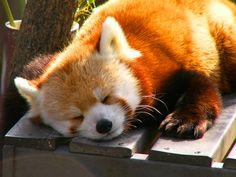 36 Red Pandas Taking Advantage Of The Sleepy Season