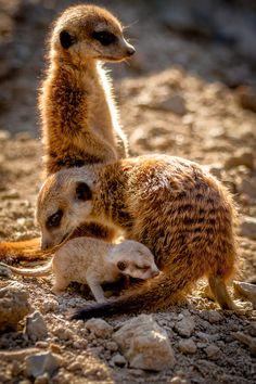 Meerkat family  (by Thorsten Scheel on 500px)