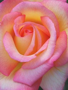 Pink RoseMacro RosePink and Yellow RosePink Rose by carensilvestri, $25.00