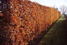Fagus sylvatica - Beukenhaag in winter, beuken houden 's winters hun goudbruine dode blad vast tot er in het voorjaar nieuw blad uitloopt