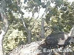 Check out Eagle Cam in Washington, DC, United States. http://www.earthcam.com/usa/dc/eagle/ This looks like Mary eating breakfast. July 14.