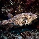 Pufferfish at Tubbataha Natural Park, Diving, Ocean, Adventure, World, Nature, Animals, The World, Animais
