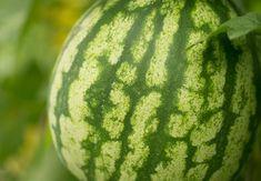 Vedeta grădinii – pepenele roșu Salvia, Watermelon, Organic, Fruit, Plant, Life, Lawn And Garden, Sage