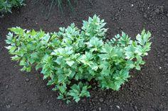 Jak předpěstovat bylinky, aby sazenice byly silné a zdravé | Zahrádkář Herbs, Plants, Herb, Plant, Planets, Medicinal Plants