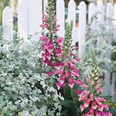 Creeeping jenny, Foxgloves against a white picket fence.