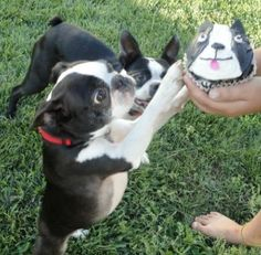 Boston Terrier Cupcake.