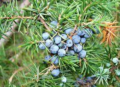 Mire is való a boróka? Blueberry, Fruit, Food, Berry, Essen, Meals, Yemek, Blueberries, Eten