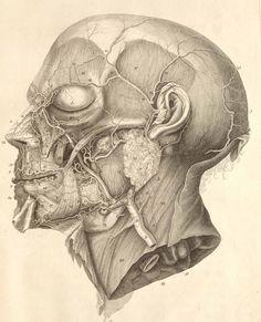human head anatomy drawing - Google Search