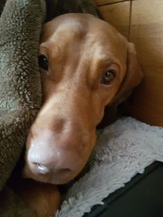 My Vizsla loves her blanket and won't sleep without it.