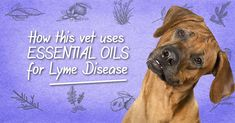 The growing rate of lyme disease in dogs is alarming. There is no cure, but studies show essential oils may be a better treatment than antibiotics. Home Remedies For Fleas, Flea Remedies, Essential Oils For Migraines, Are Essential Oils Safe, Lyme Disease In Dogs, Cinnamon Bark Essential Oil, Oils For Dogs, Natural Antibiotics, Dog Care Tips