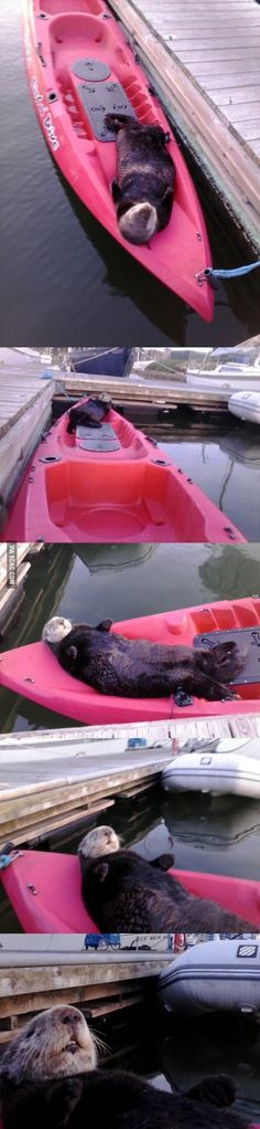 Lazy seaotter...