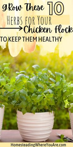 Did you know that chickens love herbs too? Some herbs help your flock stay healthy, and you can grow those at home. Here are some of the best herbs to grow for your chickens to keep them healthy and happy. Chicken Feed, Chicken Eggs, Healthy Chicken, Best Herbs To Grow, Raising Backyard Chickens, Grilled Chicken Recipes, Natural Living, Herbal Remedies, Flocking