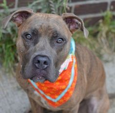 SAFE 9-24-2015 by Imagine Pet Rescue --- Brooklyn Center NINO BROWN aka FINNEGAN – A1051124  NEUTERED MALE, BR BRINDLE / WHITE, AM PIT BULL TER MIX, 1 yr STRAY – EVALUATE, NO HOLD Reason ABANDON Intake condition UNSPECIFIE Intake Date 09/11/2015 http://nycdogs.urgentpodr.org/finnegan-a1051124/