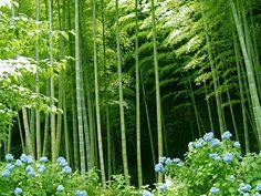 El bambú es una fantástica planta ornamental, muy decorativa y fácil de cultivar, sin grandes exigencias y resistente a plagas y enfermedades.